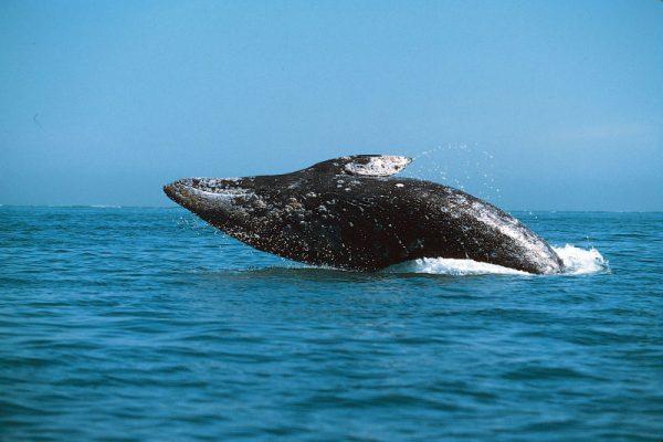 Baleia Cinzenta Curiosidades
