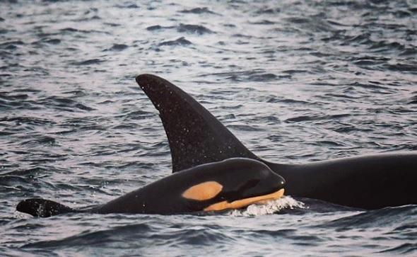 Baleia Orca Residentes