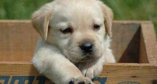 Cães Para Adoção em SP