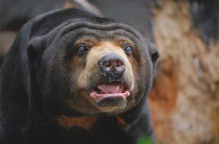 Características do Urso Malaio