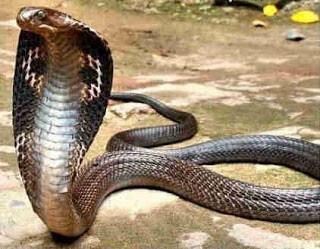 Cobra Naja: o Veneno Mata