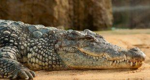CrocodiloCaraterísticas