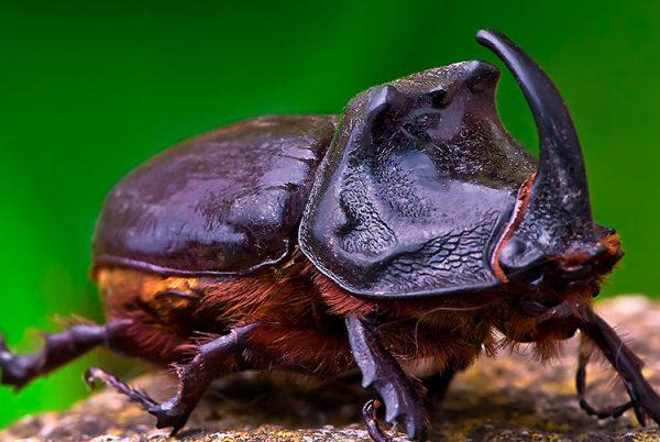 Curiosidades sobre o escaravelho