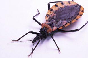 Doença De Chagas - Barbeiro