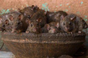 Espécies de Ratos