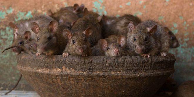 Urina e Fezes de Rato Transmitem Doença?