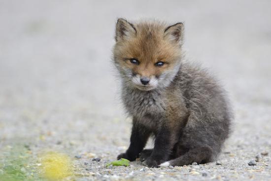 Filhote Red Fox