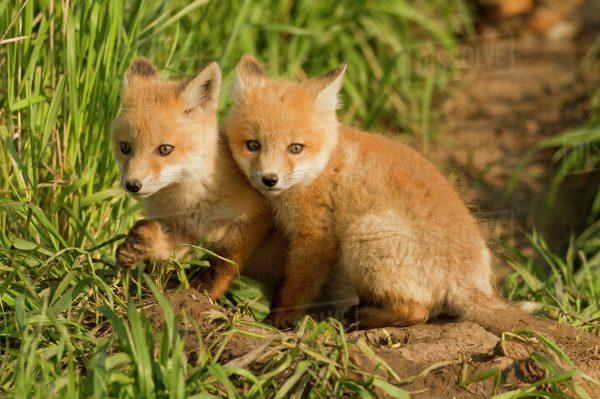 Filhotes Da Raposa Vermelha