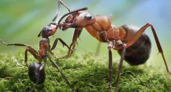 Formigas - Curiosidades e Características