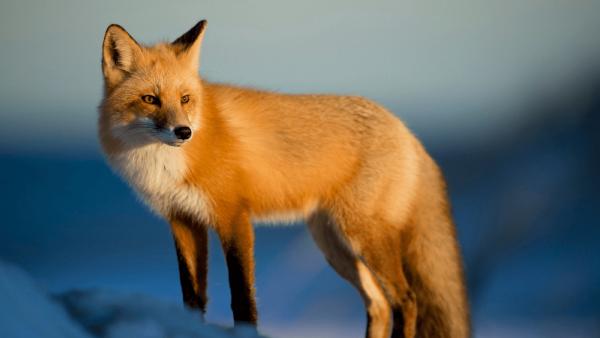 Top 10 animais favoritos Raposa-Vermelha--e1562090608161