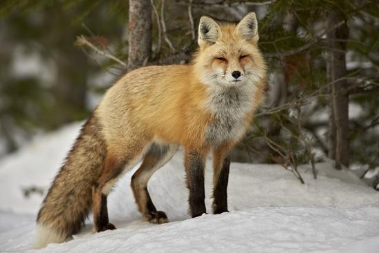 Raposa VermelhaCaracterísticas