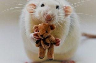 Comportamento Do Rato Twister