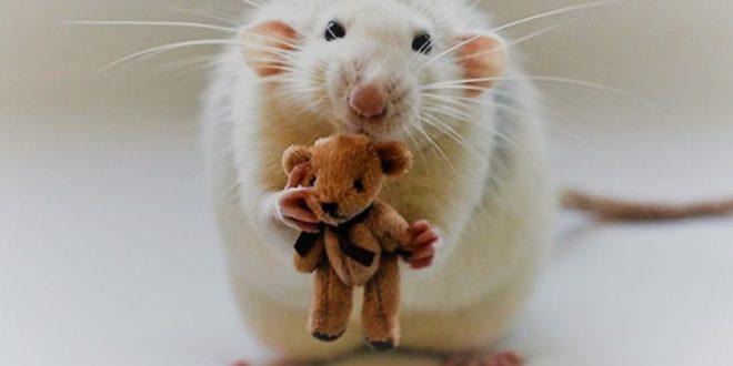 Rato Twister Transmite Doença?