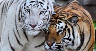 Tigre De Bengala Branco