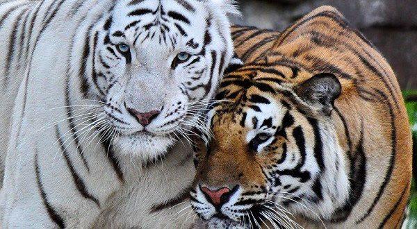 Curiosidades Sobre O Tigre De Bengala