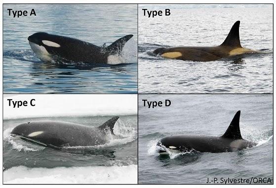 Tipos de Baleia Orca - A B C D