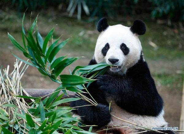 Ursos Pandas Alimentação