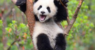 Ursos Pandas Curiosidades