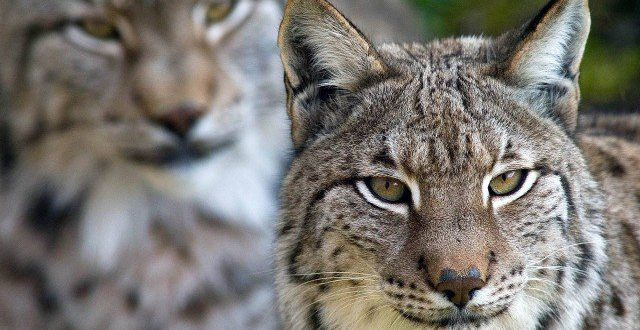 Espécies de Lince: Doméstico, Ibérico, Pardo, Do Canadá, Das Neves E Do Deserto