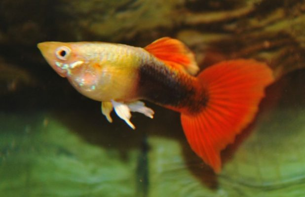 Peixe Lebiste Gold Red